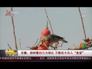 """安徽:柿树最初只为绿化 不想成为鸟儿""""食堂"""""""