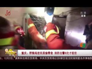 重庆:野猴闯进民居偷零食 消防出警8次才捉住