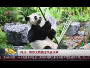 四川:旅加大熊猫龙凤胎回家
