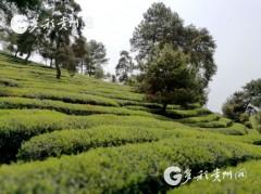 贵茶作为唯一茶企将参加首届中国自主品牌博览会