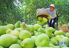 广西融水:苗乡柚丰收