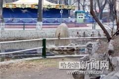 兆麟公园北归鸳鸯已达23只 19年来最多