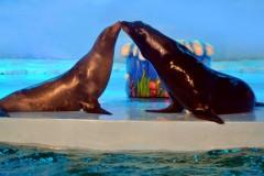 """你还不急吗?哈尔滨极地馆的海狮""""要二胎""""啦!"""