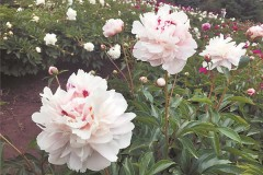 哈尔滨植物园不到6时就开门 端午赏花要趁早