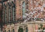 哈尔滨春雨飘落 索菲亚教堂桃花盛开景独好