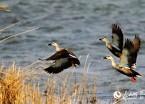 图说龙江:嘟噜河湿地保护区迎来数十万只候鸟群