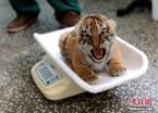 世界最大东北虎繁育基地产崽季 50多只虎娃降生