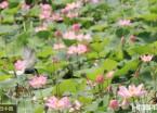 哈尔滨城市湿地荷花绽放(组图)