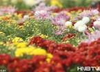 哈尔滨亭园看菊花展 400个品种20万株菊花(组图)
