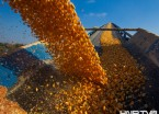 实拍黑龙江玉米加工储备过程(组图)