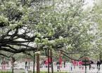 哈尔滨古梨园内132岁老梨树迎来盛花期(组图)