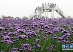 安徽芜湖:马鞭草花开迎客来