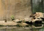 哈尔滨:12只鸳鸯宝宝诞生 吸引游客前往拍照(组图)
