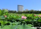 哈尔滨:夏荷灿然开 吸引市民拍照赏花(组图)