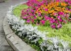 哈尔滨街头、公园种植耐寒植物雪叶莲 (组图)