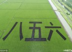 鸡西:兴凯湖畔万顷稻田开始抽穗  万顷碧绿丰收在望(组图)