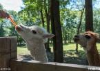 哈尔滨可爱羊驼爱吃胡萝卜(组图)