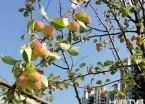 哈尔滨街头果树结实 熟透了掉地上无人采