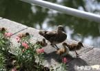 哈尔滨:公园野鸳鸯不怕人 妈妈带宝宝散步游泳 (组图)