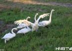 哈尔滨群力外滩出现6只天鹅 来源成迷(组图)