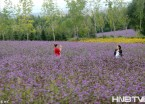 哈尔滨市郊薰衣草庄园打造浪漫之旅
