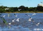 哈尔滨:上万只江鸥栖息在松花江江畔(组图)