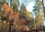 大兴安岭进入金秋时节 森林一片金黄风景壮美(组图)