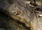 哈尔滨:小鸳鸯逐渐长大 在湖中展翅撒欢(组图)