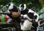 广州:斑狐猴三胞胎正式与游客见面(组图)