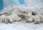 俄动物园北极熊宝宝与妈妈玩耍 画面温馨暖人