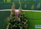 武夷山:生态茶园 静待采摘(组图)