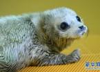 哈尔滨极地馆迎来猪年首只海豹宝宝(组图)