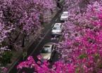 广西柳州:雨后洋紫荆别样美(组图)