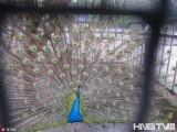 哈尔滨开放式公园内观孔雀开屏 不用去动物园了