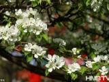 黑龙江最老梨树花开似雪 131岁为张作霖亲手移栽