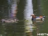 哈尔滨开放式公园里飞来了鸳鸯家族