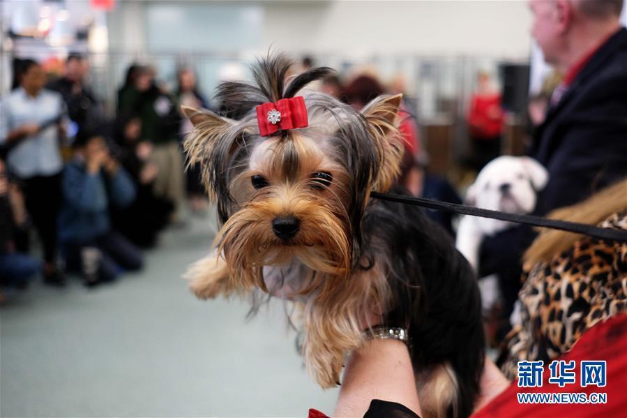 拉布拉多蝉联美国最受欢迎犬种