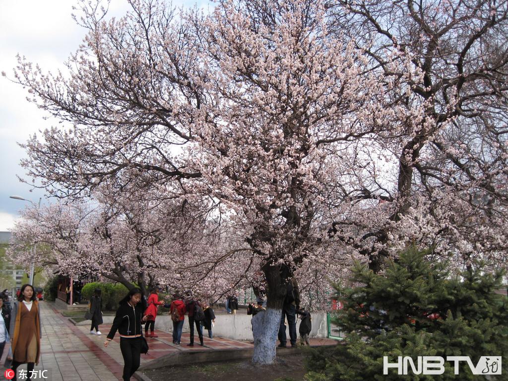 哈尔滨道路两旁杏花绽放春意浓