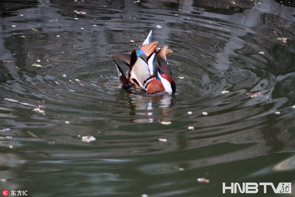 哈尔滨鸳鸯湖里野鸳鸯踩蛋缠绵 公园装巢助其安居