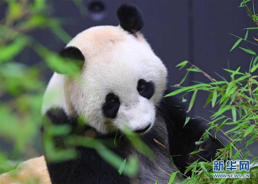 """旅荷大熊猫""""星雅""""""""武雯""""首次公开亮相"""