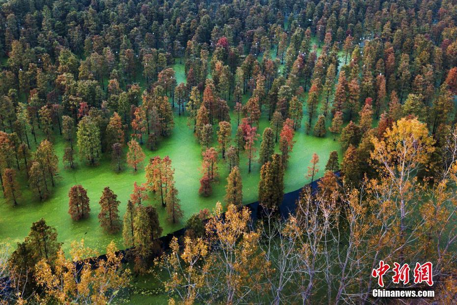 南京郊外千亩杉树展绝美画卷