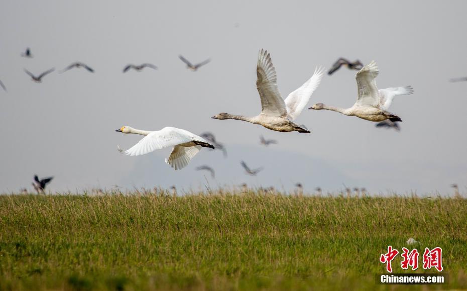 中国最大淡水湖鄱阳湖迎越冬候鸟迁徙高峰