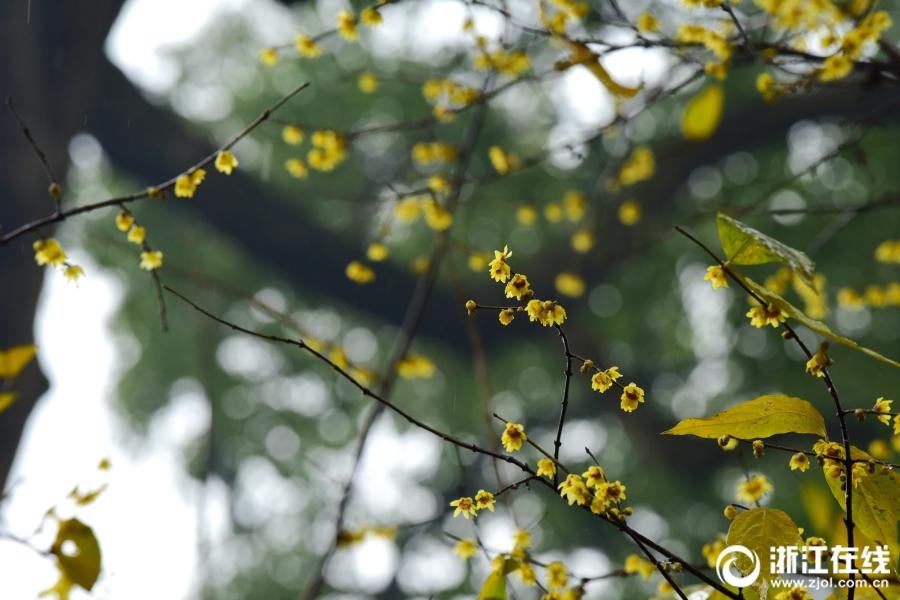 杭州:孤山腊梅 暗香浮动