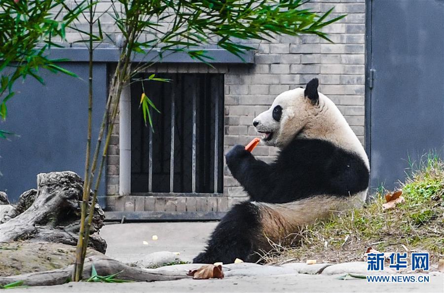 """海归大熊猫""""暖暖""""结束隔离检疫与公众见面"""