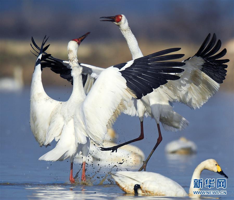 鹤舞鄱阳湖