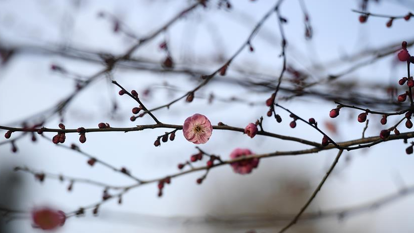 杭州:灵峰探梅赏春时