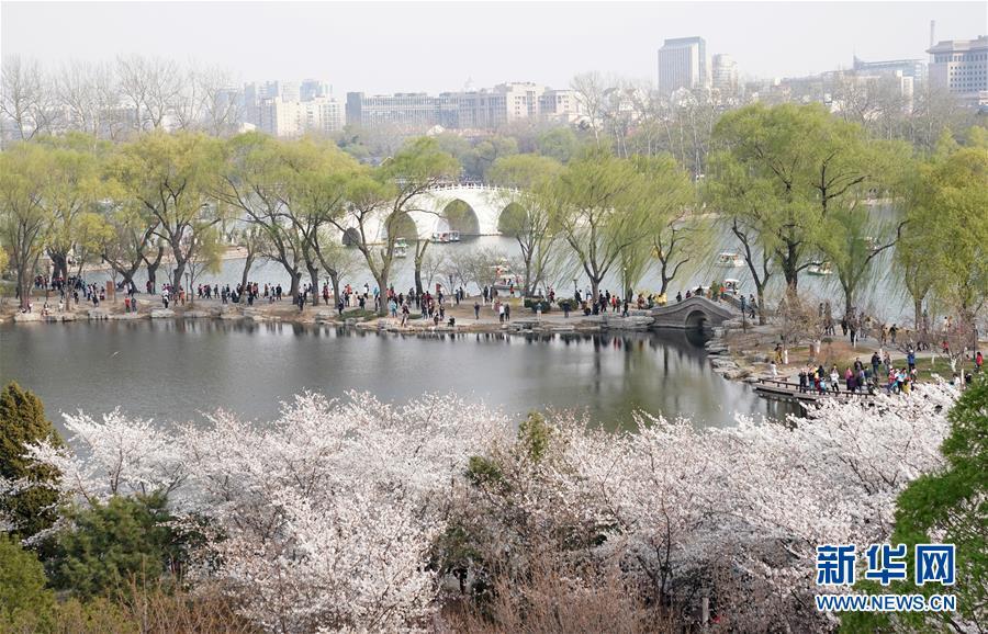 京城樱花烂漫