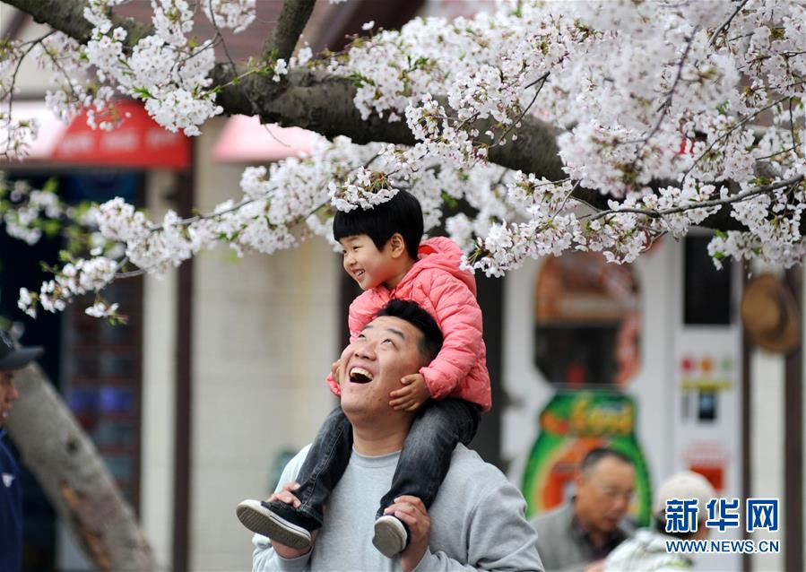 青岛樱花进入盛花期