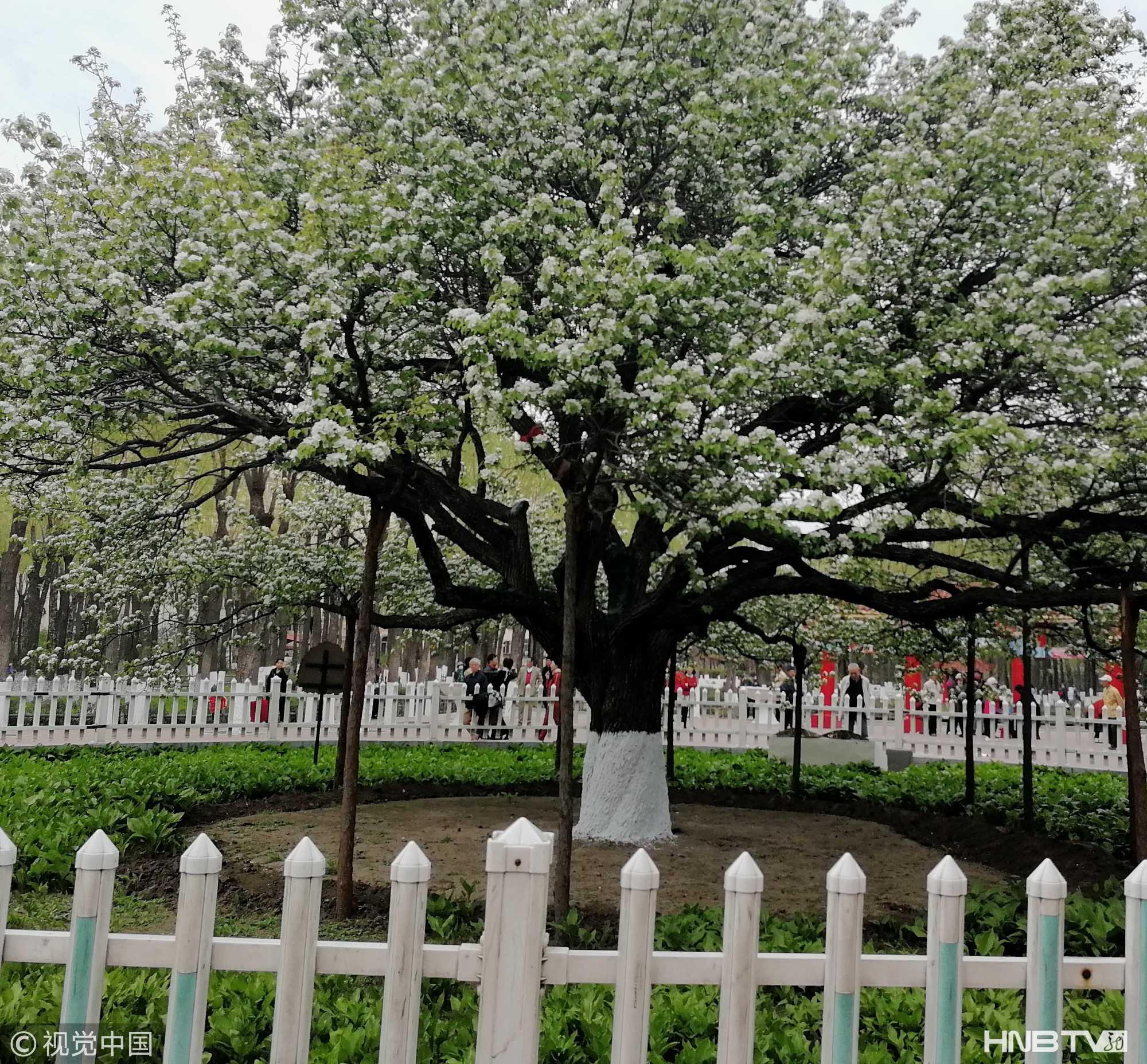 哈尔滨古梨园内132岁老梨树迎来盛花期