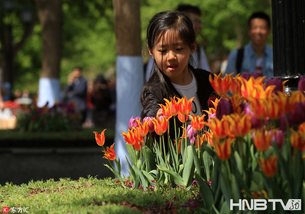哈尔滨中央大街郁金香怒放 30余万株鲜花装点百年老街(组图)